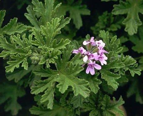 Пеларгония душистая: лечебные свойства растения, описание разновидностей этого сорта, нюансы ухода в домашних условиях, а также много фото