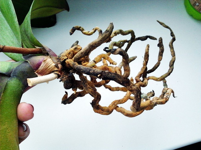Черная гниль на орхидеях и серая: что делать и как спасти цветок, как происходит лечение этих недугов, чем обрабатывать пораженные корни?