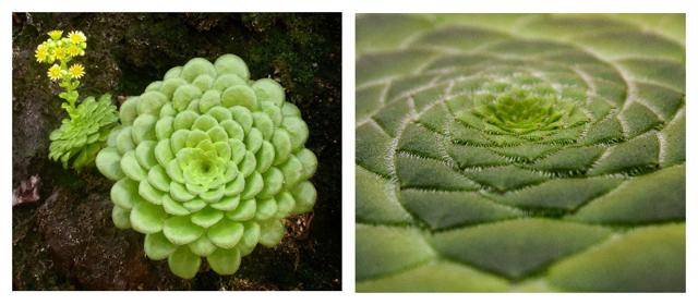Эониум (aeonium): ботаническое описание видов этого цветка и фото домашнего растения, а также суккулент как целитель