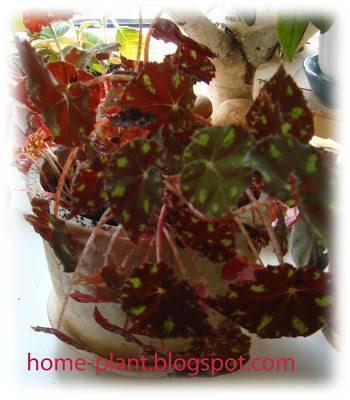 Бегония Тайгер как комнатное растение: история сорта, уход за цветком, способы размножения, болезни и опасные вредители