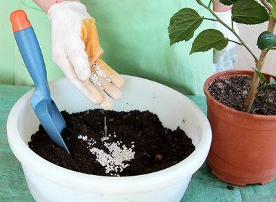 Как размножить гибискус черенками в домашних условиях
