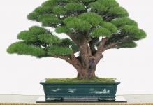 Бонсай из толстянки своими руками: как пошагово сделать, а именно как вырастить и самостоятельно сформировать денежное дерево, а также фото крассулы