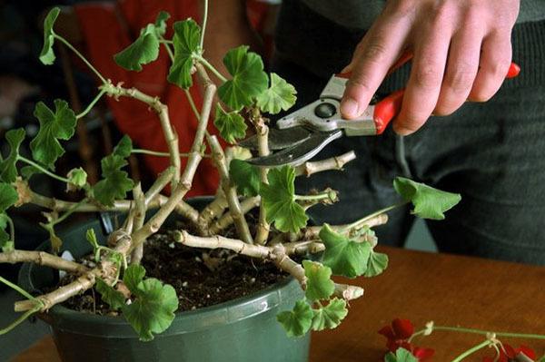 Как прищипывать герань правильно: когда это нужно делать и как именно, чтобы она росла гуще, цвела и не тянулась вверх, а также пошаговое фото процедуры