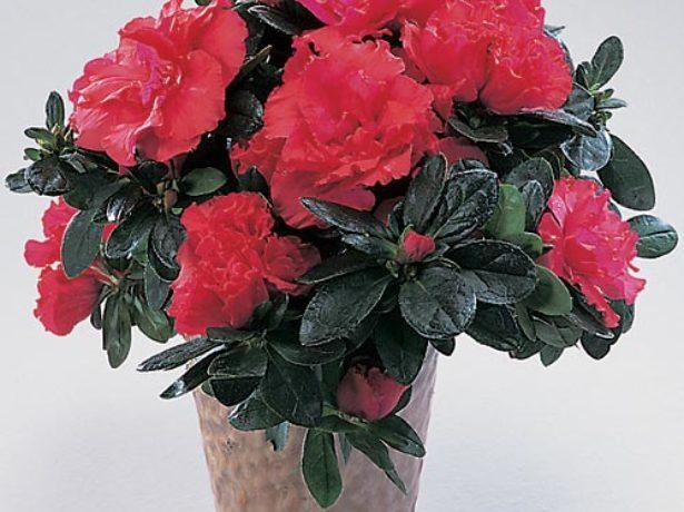 Уход за Азалией в домашних условиях: особенности и правила комнатного выращивания этого цветка семейства рододендронов в горшке у себя дома с фото