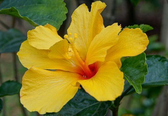 Китайская роза или гибискус: что это за цветок, каково его научное название, какие у него есть сорта и виды, а также фото того, как выглядит комнатное растение
