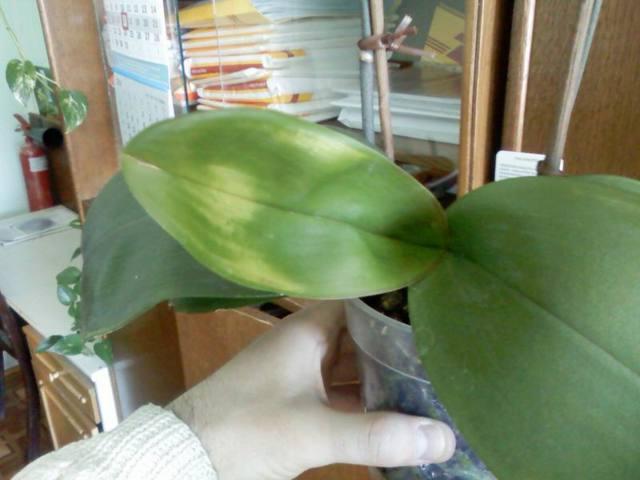 На листьях орхидеи липкие капли: что делать при этом и как лечить, если они покрылись белым налетом, почему это происходит и чем обработать?