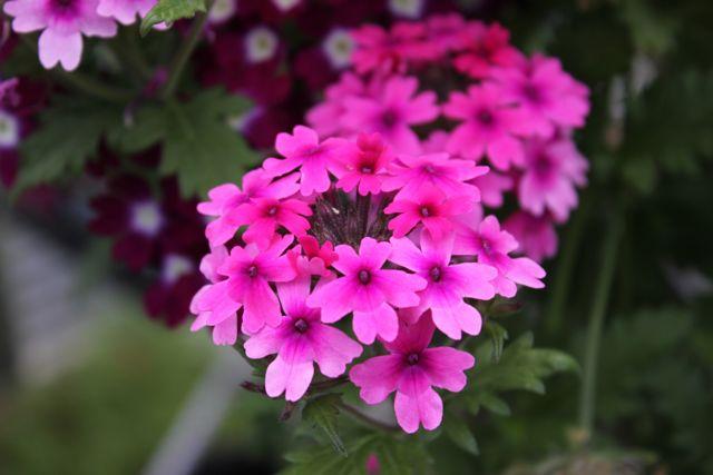 Вербена: фото этого красивого травянистого кустарника для открытого грунта, а также описание, как выглядит растение и на что похож запах его цветов и листьев