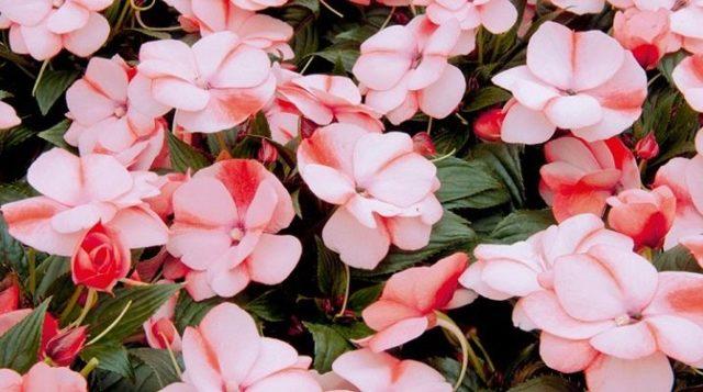 Бальзамин новогвинейский: что это за травянистое растение, годится ли для открытого грунта, нюансы ухода, посадки и размножения в домашних условиях, а также фото