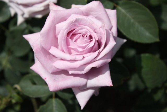 Плетистая роза Индиголетта (indigoletta) клайминг: описание с фото, история возникновения, посадка, выращивание и уход, а также вредители, болезни и размножение