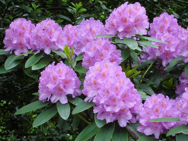 Азалия дерево: что это за растение, описание и фото данного вида рододендрона, особенности ухода и размножения