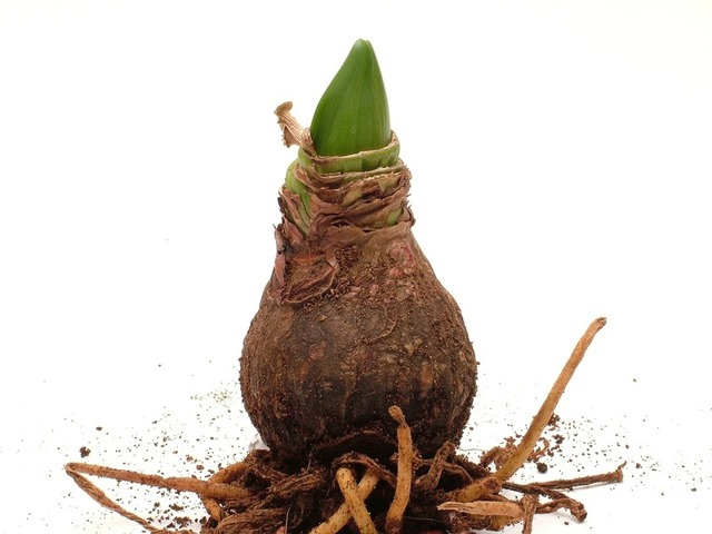 Амариллис: фото комнатного цветка и его вида Ворслеи, как выглядит растение, отличие от примулы, также строение луковицы и листьев, уход в домашних условиях
