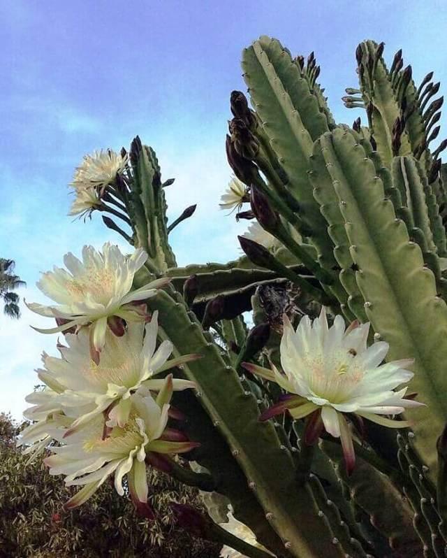 Цереус (cereus): что это такое, уход в домашних условиях, выбор земли и горшка для цветка, а также фото кактуса