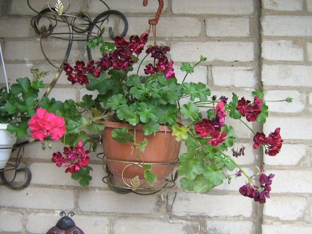 Пеларгония ампельная или плющелистная: что это за сорт и каковы особенности выращивания и ухода за растением в домашних условиях, а также как выглядят цветы на фото?