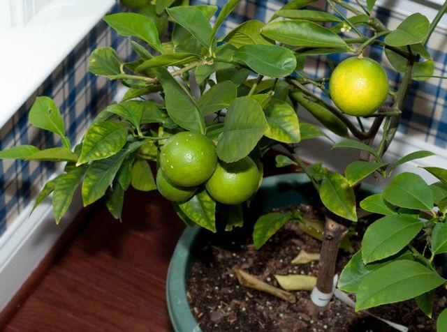 Чем подкармливать лимон в домашних условиях и открытом грунте, как удобрять комнатное дерево в горшке, во время цветения и плодоношения, а также вред передозировки