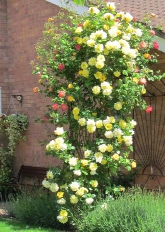 Плетистая роза Казино: фото и описание цветка, пошаговая инструкция по уходу, а также как правильно размножить и в чем отличия от других видов?