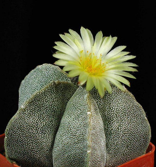 Комнатное растение Астрофитум мириостигма (тысячекрапинковый, многорыльцевый): внешний вид, размножение семенами, а также уход за astrophytum myriostigma