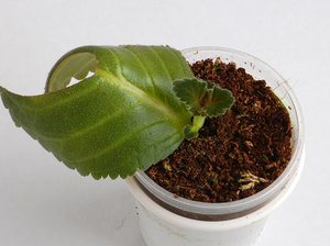 Вьющаяся глоксиния: лианы и особенности их выращивания в домашних условиях, требования к почве, свету и поливу, заболевания и вредители