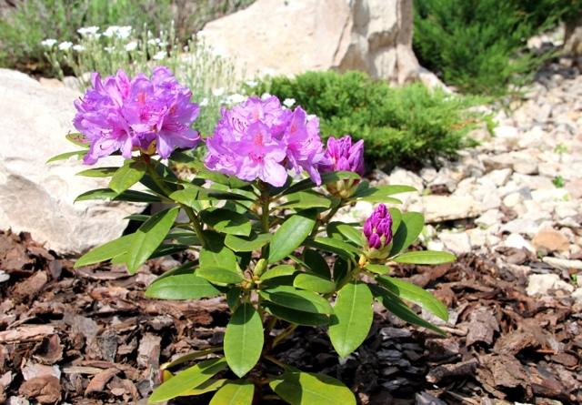 Когда сажать рододендроны: в какое время года это лучше делать - весной или осенью, как проводить процедуру, а также фото цветка