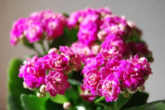 Уход за каланхоэ в домашних условиях: полив и другие важные моменты содержания лечебной и декоративной разновидности, а также фото цветов