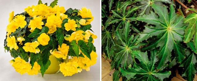 Крестовник Роули Сенецио (senecio rowleyanus): ботаническое описание и фото, а также уход, размножение и пересадка в домашних условиях