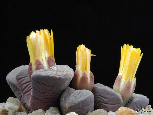 Виды литопса с описанием и фото: Ложноусеченный (lithops pseudotruncatella), Карасский (karasmontana), Аукамп (aucampiae), Хукера (hookeri) и другие