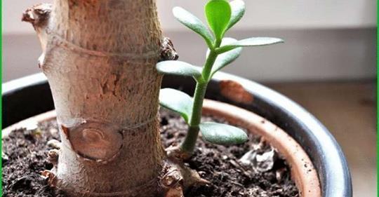 Как посадить денежное дерево, в том числе без корней: какой горшок и землю лучше выбрать для толстянки, когда и как правильно провести процедуру в домашних условиях?