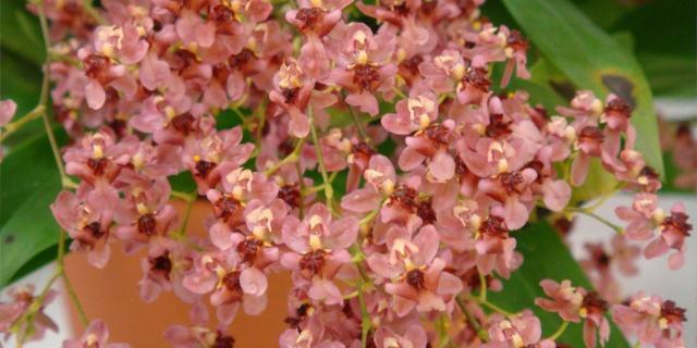 Орхидея Камбрия (Сambria): содержание в домашних условиях, как ухаживать и проводить пересадку цветка, а также фото видов с их названиями