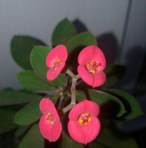 Молочай Миле: ботаническое описание цветка с фото, уход за растением в домашних условиях, а также размножение Эуфорбии блестящей и возможные болезни