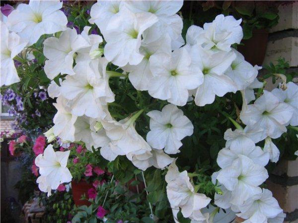 Петуния каскадная: что собой представляет это растение, как выглядят на фото популярные сорта, а также каковы особенности ухода и размножения?