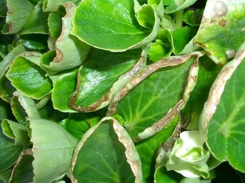Болезни бегонии: что делать, если она вытянулась или белеют листья, а также методы лечения загнивания стебля, мучнистой росы и других недугов плюс много фото