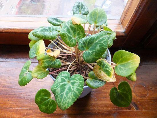 Почему вянет цикламен: что делать, если это произошло с цветком или листьями, а также возможные болезни и их профилактика