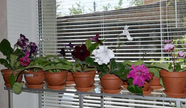 Стрептокарпус - домашнее комнатное растение, которое при должном уходе цветет и зимой, различные сорта цветка с названиями, например, ds-Февраль на фото