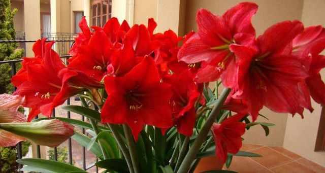 Амариллис: уход в домашних условиях, фото комнатного растения, как его пересаживать в другой горшок, чем подкармливать, какие условия нужны срезанному цветку?