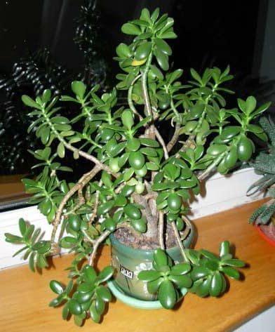 Денежное дерево: как обрезать ветки толстянки правильно в домашних условиях, можно и нужно ли прищипывать крассулу и когда, а также фото и пошаговая инструкция