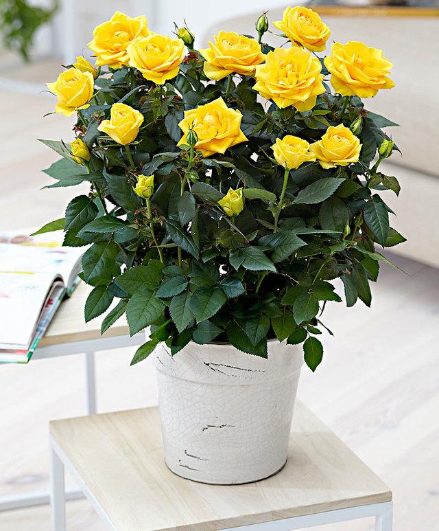 Уход за розой в домашних условиях: фото комнатного цветка в горшке, нюансы выращивания и меры помощи, если дерево почему-либо сбрасывает листья и при иных недугах