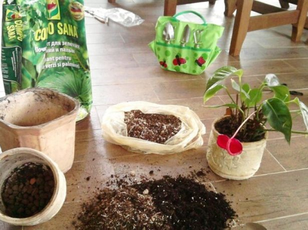 Как рассадить антуриум (Мужское счастье) правильно в домашних условиях: советы по подготовке горшка и грунта, пошаговая инструкция процесса, а также фото цветка