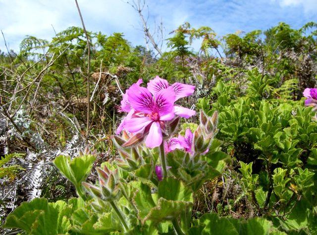 Пеларгония Звездчатая: фото улучшенного гибрида цветка под названием Звезда Подмосковья, правила по уходу и выращиванию, способы размножения