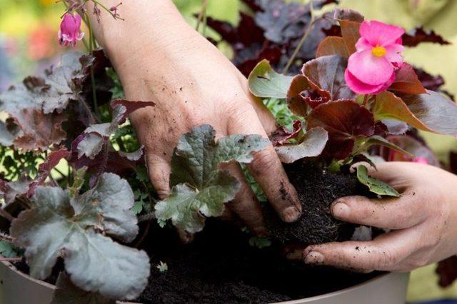 Грунт для бегонии: какая земля нужна для посадки растения в комнатных условиях, полив почвы и дальнейший уход за цветком