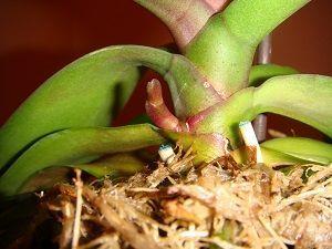 Как заставить орхидею выпустить цветонос: почему замирает или совсем не растет стрелка и что делать в домашних условиях, чтобы вышел один или несколько побегов?