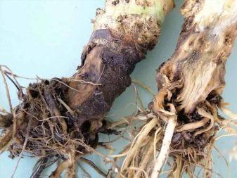Как поливать азалию в домашних условиях: как часто и какой водой орошать растение во время цветения и после пересадки в горшок, какая температура нужна зимой?