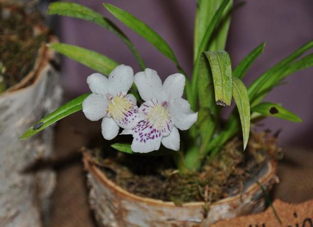 Уход за орхидей фаленопсис для цветения в домашних условиях: какую обстановку обеспечить растению, чтобы продлить сам процесс?