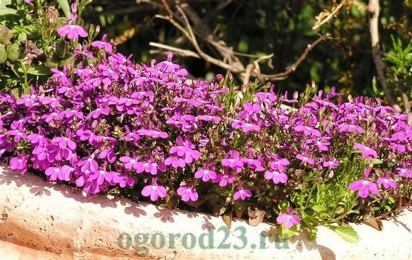 Цветок лобелия: фото, описание, что это за растение - многолетник или однолетник, правила ухода. Сажают ли его вместе с другими на клумбе и выращивают ли на балконе?