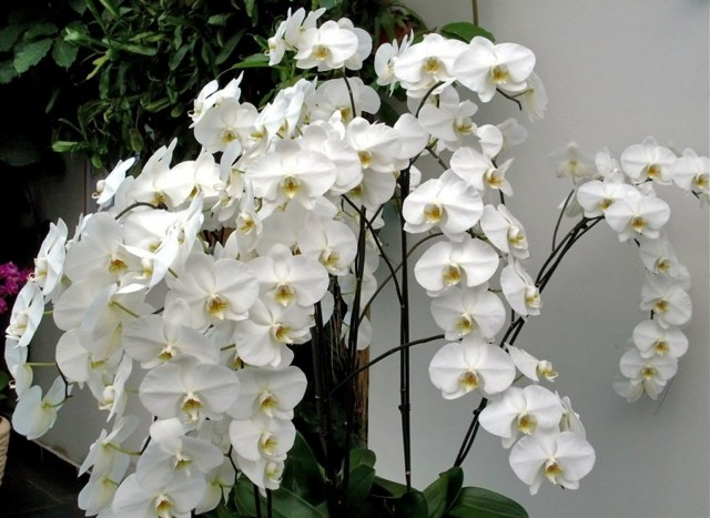 Белая орхидея в горшке: что это за сорт и как цветок выглядит на фото, а также правила ухода за комнатным растением в домашних условиях и происхождения названия