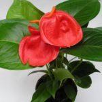 Болезни и вредители пеперемии: фото пораженного растения, а также почему желтеют листья и на них появляются коричневые пятна, как это устранить?