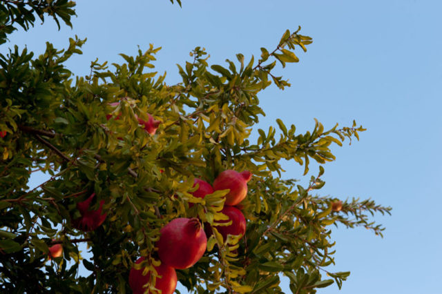 Где растут гранаты: в каких странах добывают их плоды, находятся ли такие деревья в Дагестане, как они выглядят на фото и каким образом посадить эту культуру дома?