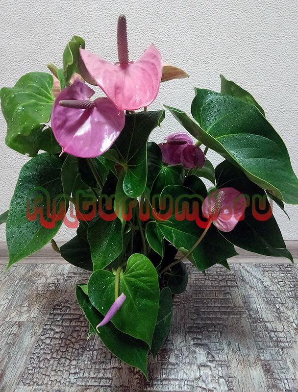 Антуриум кавалли: ботаническое описание и фото цветка, особенности посадки и ухода в домашних условиях, также советы по борьбе с заболеваниями и вредителями