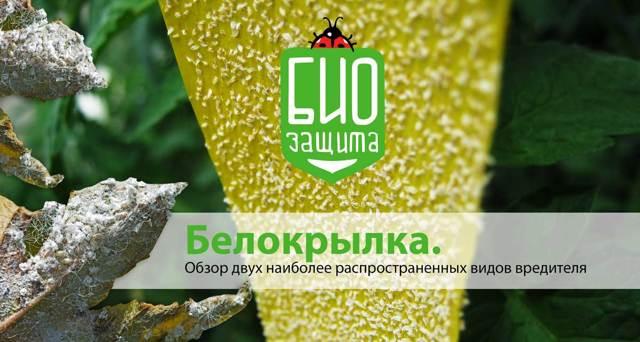 Белокрылка табачная, оранжерейная и иные виды: чем опасна для комнатных цветов и других растений, при какой температуре погибает и жизненный цикл и фото насекомого