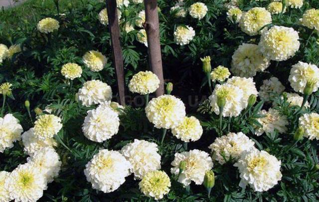 Бархатцы: описание, размножение и фото цветка, к какому семейству относятся, научное название растений и почему на Украине их называют чернобривцы?
