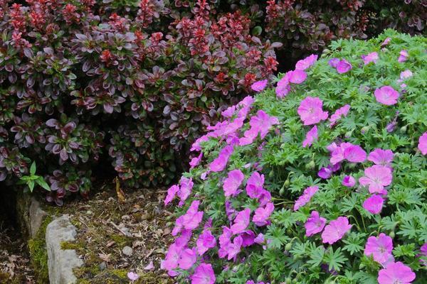 Герань великолепная: все о правилах посадки и ухода за этим цветком, фото растения, какие популярные сорта существуют на сегодняшний день?