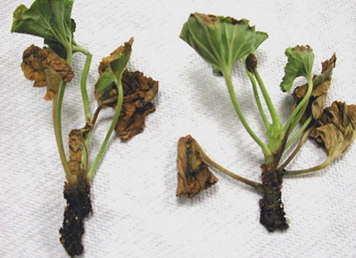 Болезни герани и их лечение с фото: борьба с черной ножкой и другими недугами и вредителями, а также уход за этим комнатным растением в домашних условиях